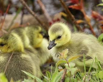 Gosling, goose, geese, baby, nature, photo, print, photography, wall art, home decor