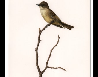 """Vintage Book Print 1968 Birds Of The Eastern Forest : Eastern Phoebe Single Page Wall Art Decor Print 9.5"""" x 13"""""""