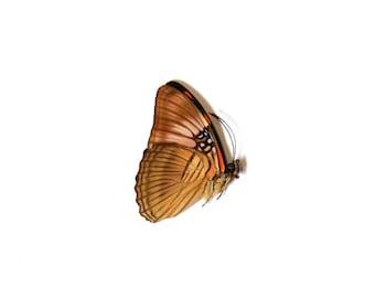 Mesentina Sister (Adelpha mesentina) Butterfly Specimen