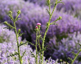 botanical photography, thorn, wall flowers, Art photo of lavender, picture lavender field, decoration lavender, purple colors, art wall
