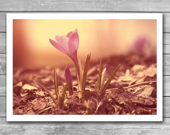 Crocus, Spring Flower, Spring Print, Springtime, Blossoming Garden, Spring Photography, Giclee Print, Marco Photo, Bloom, Blossom, Interior