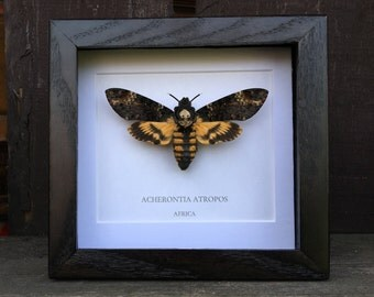 Deaths Head Hawk Moth (Acherontia atropos) Framed Moth