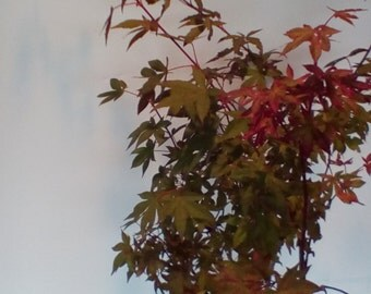 Japanese maple red dwarf
