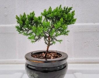 Juniper Tree Bonsai panda Best Gift  (FREE SHIPPING)