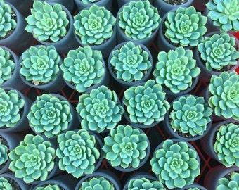 Succulent Echeveria - Wedding Bomboniere - Wedding Favours