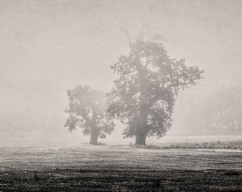 Oaks in morning mist. A beautiful fine art photographic giclée print of a pair of oak trees on a misty morning.