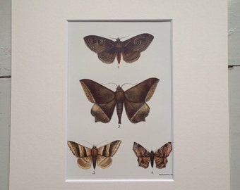 1897 Original Antique Lepidoptera Print - Matted and Ready to Frame - Butterfly - Moth - Entomology