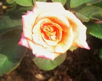 Texas Rose II