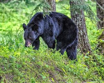 Smoky Mountains Black Bear