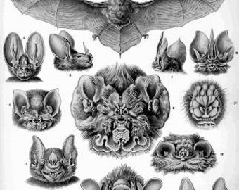 Haeckel Chiroptera Digital download art poster digital vintage image instant download Supplies for scrapbooking cards Ihappywhenyouhappy