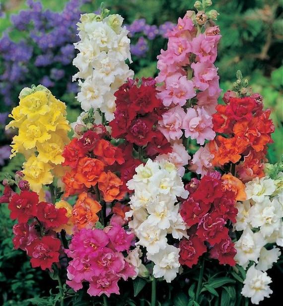 Gardening snapdragon rainbow flower seeds antirrhinum majus for Rainbow flower seeds