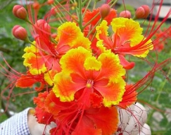 Caesalpinia Pulcherrima 10/25/100/500 Seeds Flowering Shrub / Tree, Bird of Paradise, Poinciana, Pride of Barbados