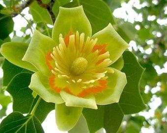 Liriodendron Tulipifera 10 OR 100 Seeds, Tulip Poplar Tree, Hardy Northern Flowers
