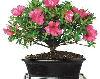 Satsuki Azalea - Medium (Outdoor)