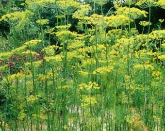 Dill Herb Seeds/Anethum Graveolens/Annual    60+