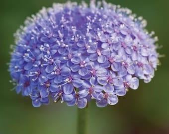 Blue Lace Flower Seeds/Didiscus Caeruleus/Annual  50+