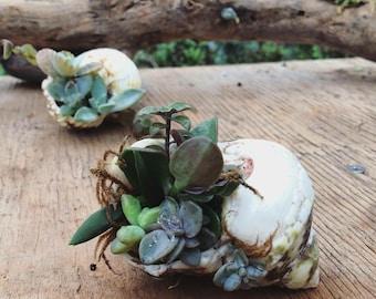 Succulent Seashell