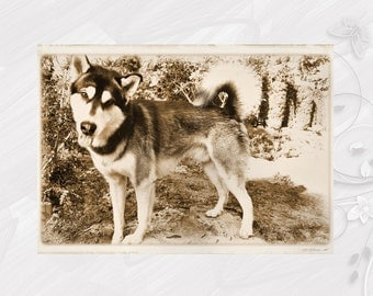 "Post card greeting card ""Alaskan Malamute"" dog - [# GK. 2011.020]"