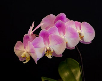 Orchid Flower, Pink, Macro Flower photography