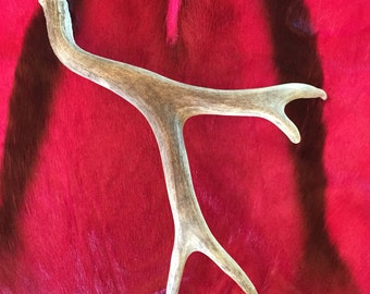 Real Montana Mule Deer Antler, Naturally Shed