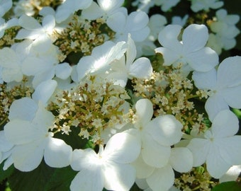 White flowers macro photo- nature photography, flower photo.