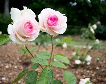 Pink Rose, wall art, Home Decor, Print, Flower, Photography