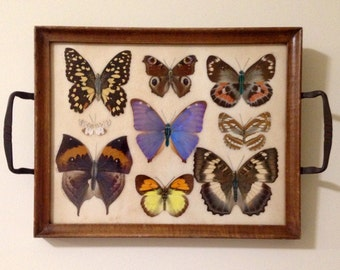 Antique Butterfly Display
