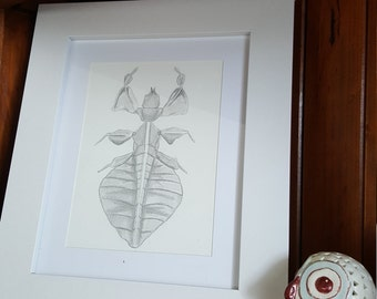 A5 Hand drawn Leaf Insect, Scientific Illustration, Entomology