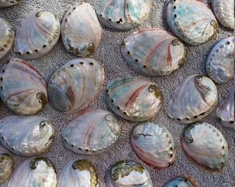 Bulk Red Abalone Shells (50)