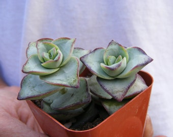 Crassula Perforata 'Giant String of Button' Succulent