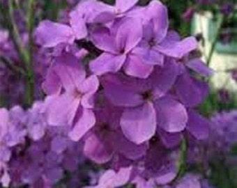50+ Purple Dames Rocket Purple / Perennial