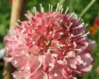 25+ Salmon Queen Scabiosa Pincushion / Perennial Flower Seeds