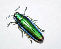 buprestidae sp - real insect - real beetle - metallic beetle - jewel beetle - curiosities - preserved specimen - dried insects