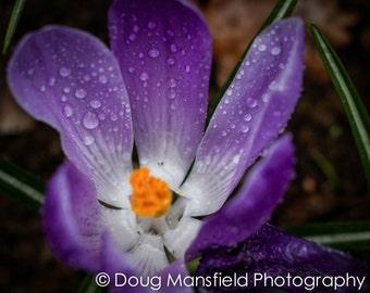 Purple Tulip - LIMITED RELEASE