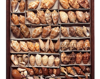 Drawer #37 - The Read Family Shell Collection