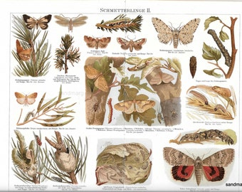 Life Cycle and Habitat of the Butterfly 1895 Chromolithograph