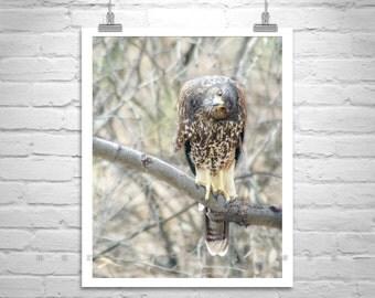 Hawk Art, Harris Hawk, Hawk Photography, Wildlife Art, Bird Print, Bird Photography, Tucson, Vertical Art, Canvas Photo, Bird Lovers Gift