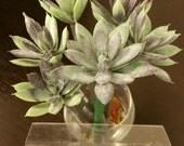 6 Succulent  Fabalous  flower pens in (free) vase