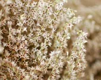 Bulk Dried German Statice,  white dried statice, German statice, white flowers, white dried flowers, white statice, white dried flowers