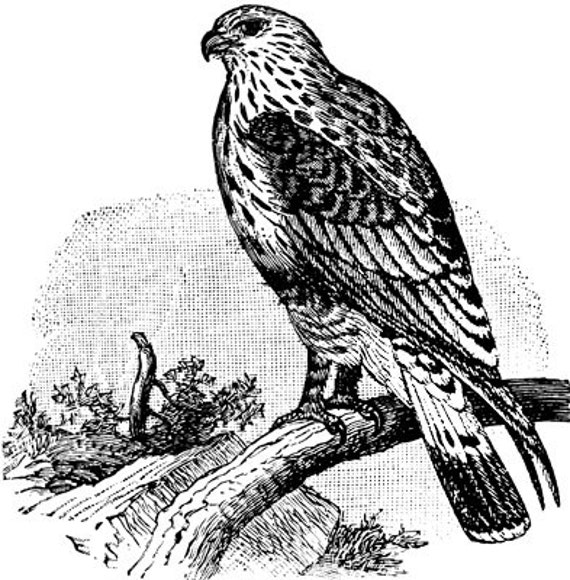 hawk bird png clip art stamp Digital art download, graphics images, animal Illustrations, printable art, digital images, line art, drawings