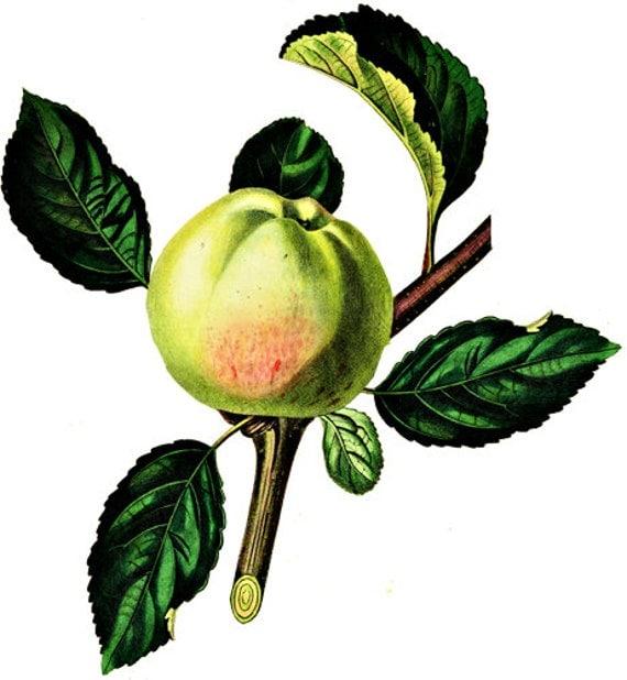 GREEN APPLE ART printables fruit clipart png image clip art jpg vintage Digital download transparent image food gardening art graphics
