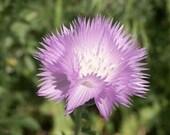 Organic Imperialis Sweet Sultan Mix Amberboa Heirloom Wildflower Seeds