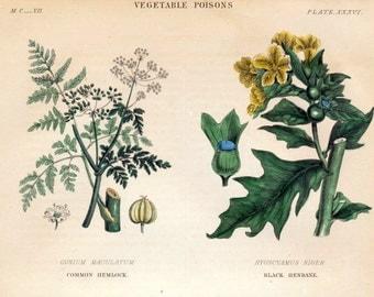 Antique Botanical Print of Hemlock, Saffron - Vegetable Poisons - Poisonous Plants - Hand Colored - 1870 Vintage Print - No. 36 - Home Decor
