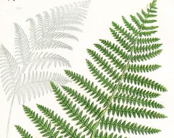 Common Brake Antique Fern Print . Original Botanical Plant Chromolithograph Circa 1860 Vintage Plate 303