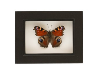 European Framed Butterfly Shadowbox Display