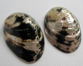 Rare Polished Black Abalone shell