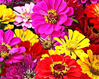 Z Is for Zinnias