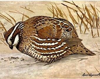 Vintage Wildlife Postcard - The Northern Bobwhite -- Artist Signed, Louis Agassiz Fuertes (Unused)