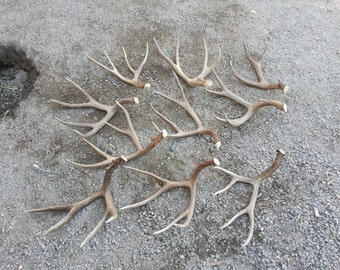 Lot of 10 Large  Mule Deer Shed Antlers Set Lot No. 24776Y