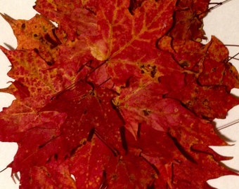 SALE, Flat 3D Real Dried Maple Leaves, Bright Reds, Vibrant Orange, Wreath making, Fall Wedding Biodegradable Decor, Thanksgiving Decor